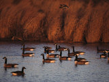 Canada Geese in a Marsh Channel  Chincoteague Island Area  Virginia