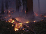 View of a Controlled Fire in a Stand of Giant Sequoia Trees