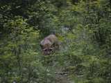 A Mountain Lion (Felis Concolor) Prowls Through the Brush