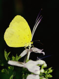 A Common Grass Yellow Butterfly Feeds on a Flower