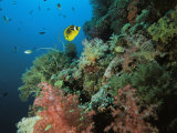 A Racoon Butterflyfish and Other Fish Swim Near a Reef Wall