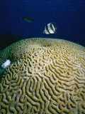 Banded Butterfly Fish &amp; Brain Coral