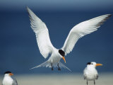 Royal Tern Descending in Flight