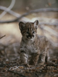 Portrait of an Eight-Week-Old Mountain Lion Kitten