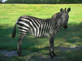 Zebra in Pasture  North Florida