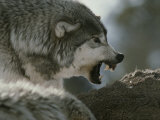 Alpha Male Gray Wolf Dominates a Deer Carcass