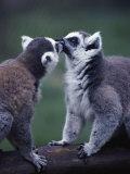 Lemur Catta (Ringtail Lemur)