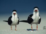 Pair of Black Skimmer Birds