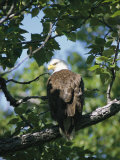 American Bald Eagle Perches on a Tree Branch