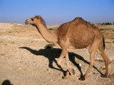 Camel  Israel