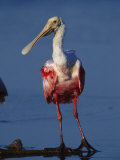 Roseate Spoonbill Wades in the Mud of a Coastal Lagoon