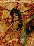 Team of Smaller African Weaver Ants Attack and Kill a Larger Ant