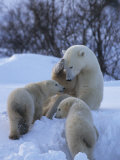 Mother Polar Bear Nurtures her Two Cubs