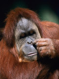 Orangutan  Borneo