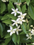 Orange Blossoms and Foliage