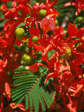 Poinciana Tree Blossoms  Bermuda