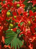 Poinciana Tree Blossoms  Bermuda