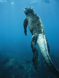 A Marine Iguana Swims Underwater
