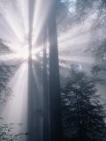 Sunrays Shining Through Redwood Trees