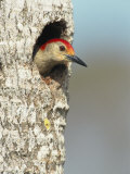Red-Bellied Woodpecker Looks Out from its Nest