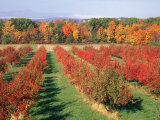 Fruit Orchard in the Fall  Columbia County  NY