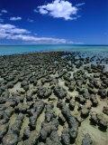 Stromatolites in Hamelin Pool  Near Monkey Mia  Hamelin Bay  Australia