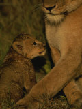 African Lioness and her Cub