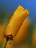 Close-up of a Poppy Bud