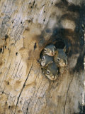 Young Squirrels Peering Out of a Nest Once Used by a Northern Flicker