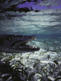 Barracuda in Water