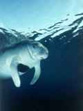 Manatee Underwater