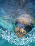 Sea Lion  Netherlands Antilles