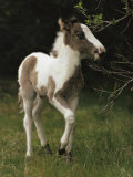 Portrait of a Wild Pony Foal
