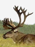 Bull Caribou  Alaska