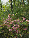 Wild Azaleas Grow on Ravens Roost Overlook