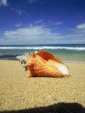 Seashell on Beach  Tobago  Caribbean