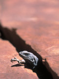 Chuckwalla Lizard  Grand Canyon National Park  AZ