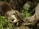 Adult Asian Short-Clawed River Otter Shows Newborn to Sibling