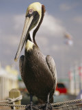 Pelican Visiting City Marina