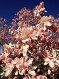 Crab Apple Tree in Bloom  Jamaica Plains  MA
