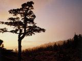 Alpine Hemlock  Baranof Island  AK