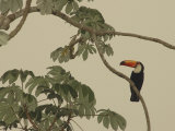 Toco Toucan Fledgling at the Fazenda Barranco Alto