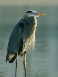 Great Blue Heron on Floridas Gulf Coast