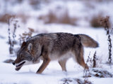Coyote  Canis Latrans  MN
