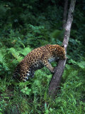 Amur Leopard in Forest  Panthera Pardus Orientalis