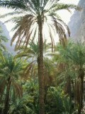 Date Palms Line the Inner Canyon at Lush Taab Springs Oasis