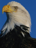 Portrait of an American Bald Eagle  Haliaeetus Leucocephalus