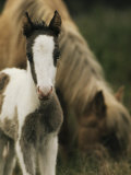 Wild Pony Foal Standing near its Grazing Mother