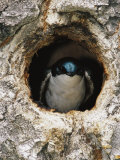 Tree Swallow Peers Out of its Nest  a Hole Once Used by a Flicker