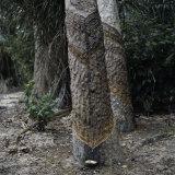 Para Rubber Tree (Hevea Brasiliensis) Brazil